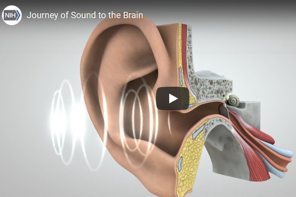 The screenshot of video illustrating how sounds travel from the ear to the brain, where they are interpreted and understood.