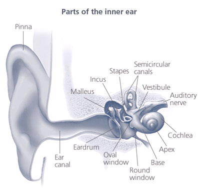 Illustration showing The auditory system in the ear.