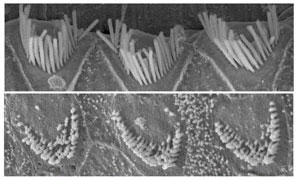 Stereocilia sensory cells that line the inner ear